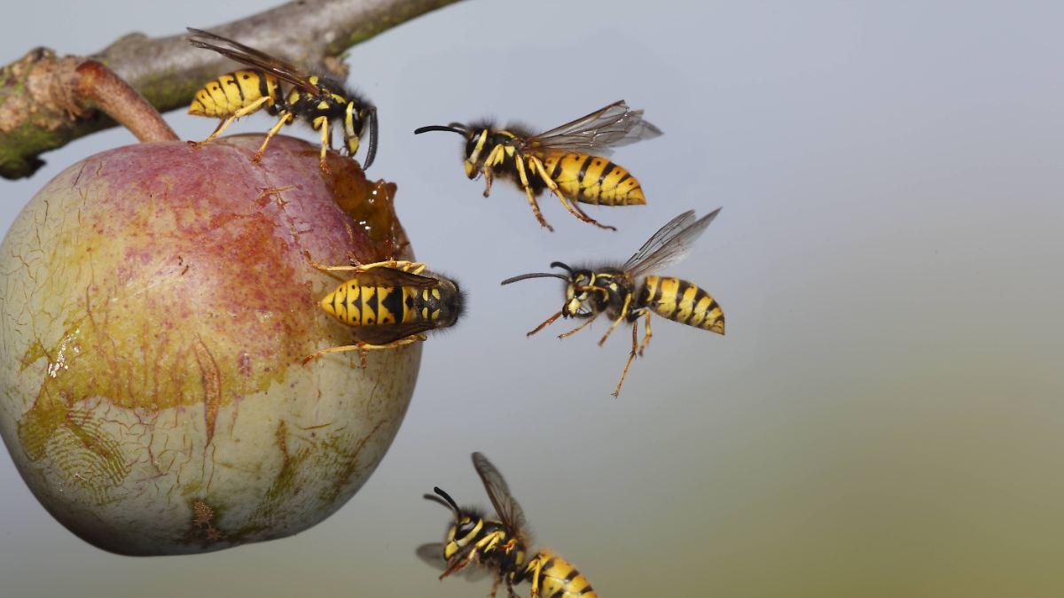 Wo sind all die Wespen plötzlich hin?