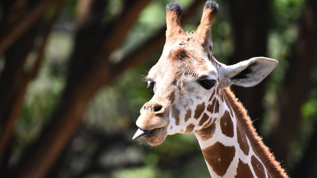 Giraffen sollen künftig besser geschützt werden