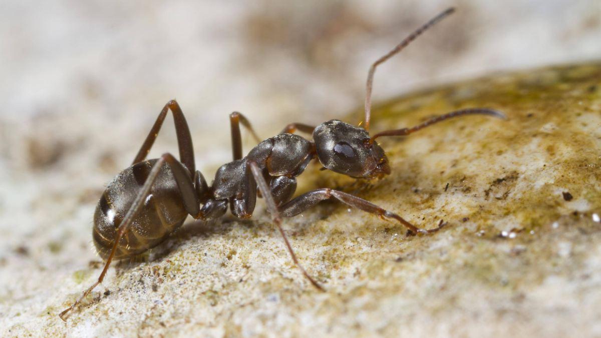 Überleben Ameisen Stürze aus großer Höhe?