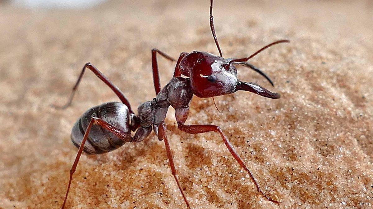 Schnellste Ameise der Welt entdeckt