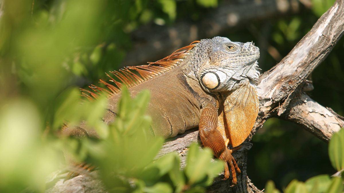 Warnung vor herabfallenden Leguanen