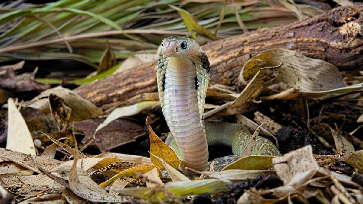 Forscher: Coronavirus stammt aus Schlangen
