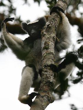 Markante Ohren: Lemuren kommen nur auf Madagaskar vor.