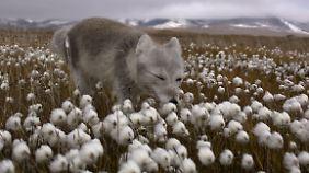 Ein Polarwolf schnuppert an blühendem Wollgras.