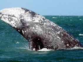 Ein höchst seltener Grauwal, hier vor der Pazifikküste Mexikos.