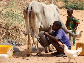 Außerhalb der somalischen Hauptstadt Mogadischu melkt eine Junge eine Kuh.
