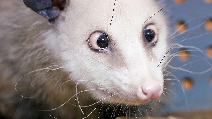 Wegen ihres Schielens ist Opossum Heidi aus dem Leipziger Zoo ein Weltstar geworden.