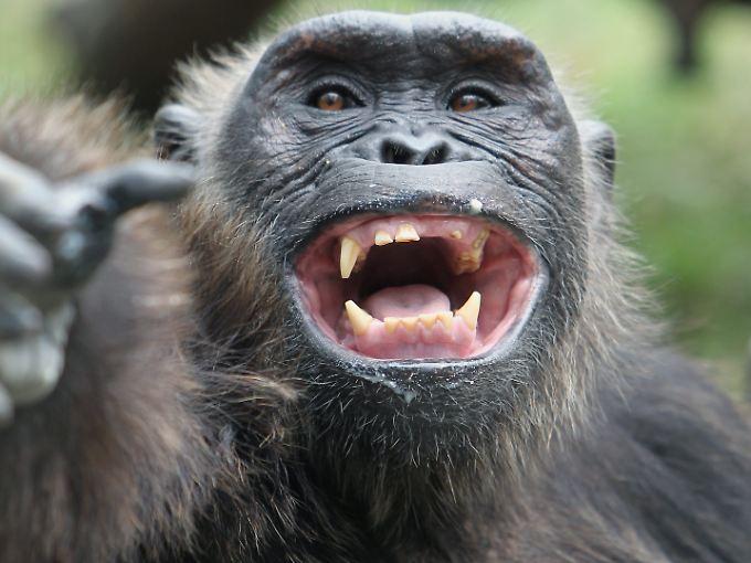 Dieser Schimpanse weiß, wie er mit seinen Spielkameraden warm wird.