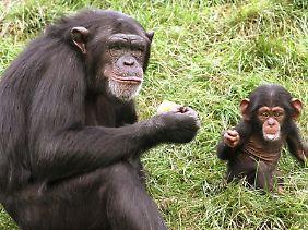 Alte Schimpansen können dem Nachwuchs einiges vormachen.