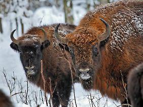 Podlaskie heißt die Woidwodschaft ganz im Osten Polens - im Bialowieza-Nationalpark sind dort noch freilebende Wisente zu sehen.