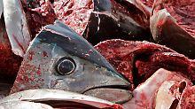 Fragend blickt der Kopf eines Blauflossen-Thunfisch in die Kamera: Er wurde vor Almeria an der spanischen Mittelmeerküste gefangen.