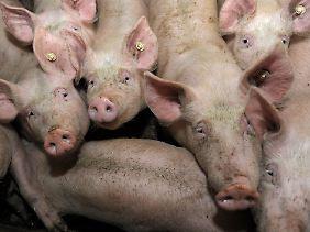 Das Ebola-Virus kann sich auch in Schweinen vermehren.