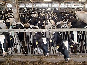Kühe sind Reservoir für EHEC.