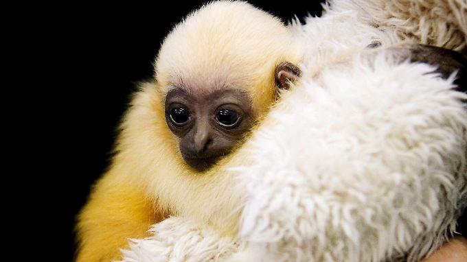 Gibbons - hier ein Gibbon-Baby im Zoo von Perth, Australien - gelten als die romantischsten aller Primaten. Sie gehen mit ihren Partnern lebenslange Bindungen ein und singen sich gegenseitig Ständchen vor.