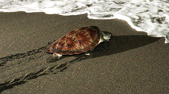 Nach Schätzungen des WWF gibt es weltweit nur noch 8000 Karettschildkröten-Weibchen.