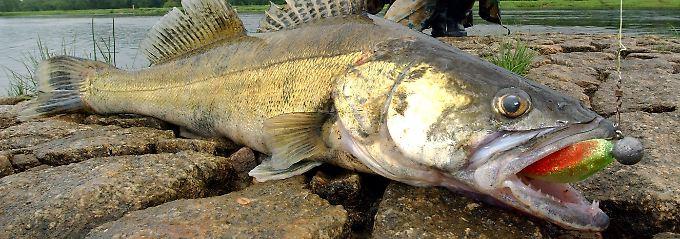 An trockenfutter gew hnt zander im karpfenteich n for Fische in teichen
