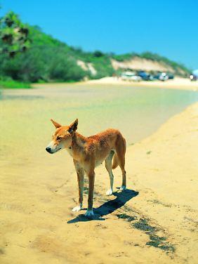 Nicht so harmlos wie er aussieht: Dingos können auch für Menschen gefährlich werden. Etwa 200 dieser Wildhunde leben auf Fraser Island.