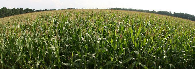 Mais verdrängt zunehmend Feldfrüchte von den Äckern.