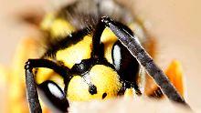 Wespen legen ihre eigenen Eier in die der Käfer.