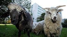 Ohne Ressentiments: Schafe helfen Patienten