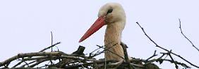 Er bleibt auch bei schlechtem Wetter auf dem Nest sitzen: der Storch.