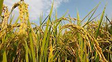 Reispflanzen auf einem Feld.