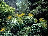 Üppige Vegetation: Im Gegensatz zu den Nachbarinseln Teneriffa oder Lanzarote kann La Palma als grünes Eiland bezeichnet werden.