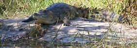 Komplette Siebenjährige im Magen?: Krokodil frisst Mädchen