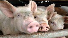 Reinlich, gesellig und intelligent: Schweine