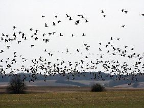 Wildgänse sammeln sich im Nationalpark Unteres Odertal nahe dem brandenburgischen Schwedt, um in den Süden zu ziehen.