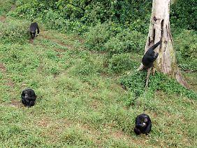 Zur Fütterungszeit stürmen die Schimpansen lauthals kreischend aus dem Wald.