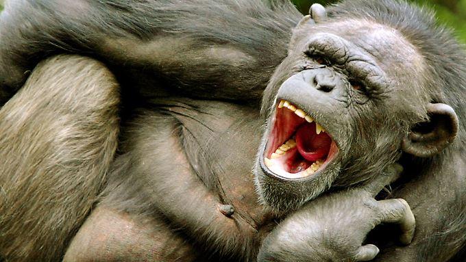 Gähnender Schimpanse.