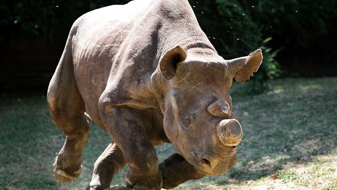 Nashörner sind akut vom Aussterben bedroht.