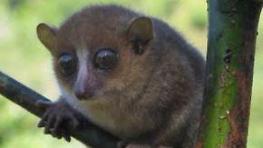 Gute Nachricht des Tages: Neue Affenart entdeckt