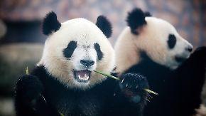 Zu faul zum Sex: Pornos sollen Pandas anregen