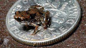 Gute Nachricht des Tages: Kleinster Frosch der Welt entdeckt