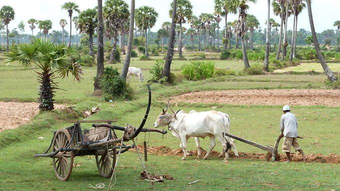 Ein Bauer bearbeitet nahe Kampong Thom sein Feld.