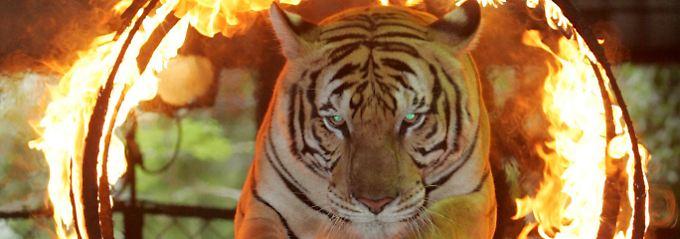 Gesprungen ist der Tiger bereits...