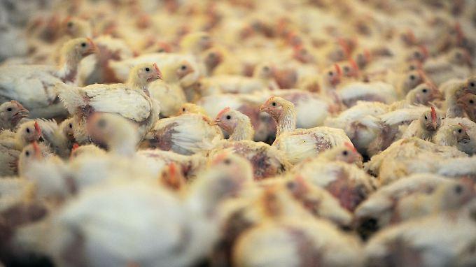 """In einem der Hähnchenställe für den Geflügelproduzenten """"Wiesenhof"""" in Visbek werden 30.000 Jungtiere gehalten."""