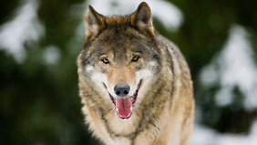 Ein Wolf in seinem Gehege im Wildpark Schorfheide.