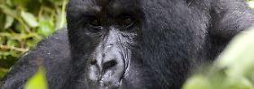 Im ehemals umkämpften Grenzgebiet rund um die Virunga-Vulkane leben die letzten Berggorillas