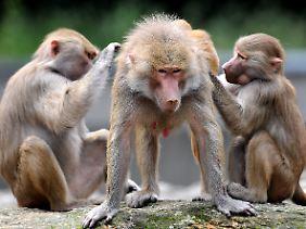 Beim Lausen arbeiten Primaten offenbar gerne zusammen.