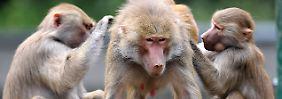 Paviane sind genauso intelligent wie Menschenaffen.