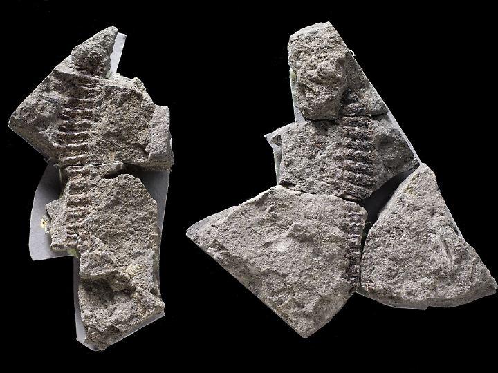 Die fossilen Überreste eines amphibischen Tieres haben in Steinen die vergangenen 360 Millionen Jahre überdauert.