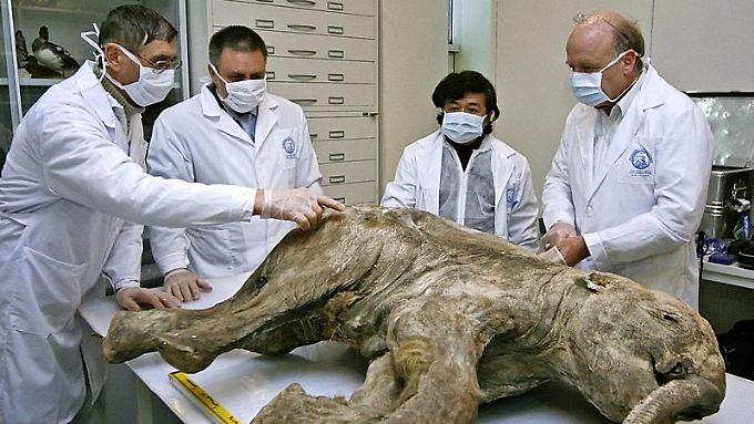 Wissenschaftler untersuchen im russischen Salechard (Jakutien) die Überreste des Mammut-Babys Ljuba. (Bild von 2007)