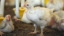 Deutschland gehört zu Spitzenreitern: Tiere bekommen weniger Antibiotika
