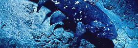 Großer Schritt in Evolutionsforschung: Quastenflosser-Erbgut entziffert