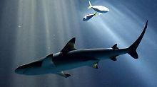 Mehr Beute, weniger Feinde: Haie schwimmen bei Vollmond tiefer