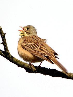 Ein Ortolan, auch Grauammer genannt, auf einer Astgabel. Auch diese Vogelart gilt als gefährdet.