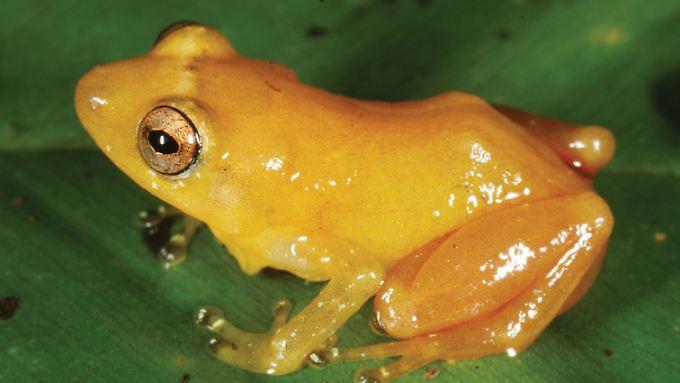 Durch den ungewöhnlichen Paarungsruf sind die Forscher auf den gelben Frosch gestoßen.